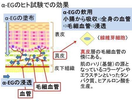 α-EGのヒト試験での効果を示す模式図